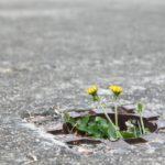 アスファルトに咲く二輪のタンポポ